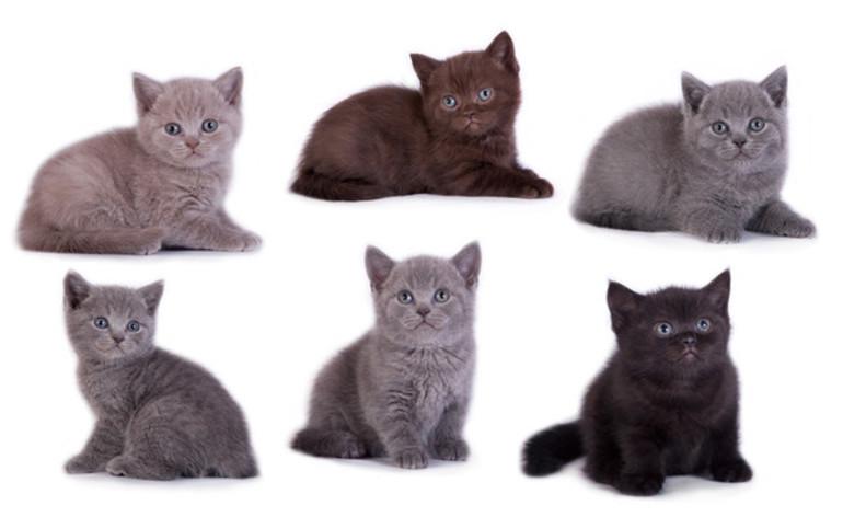 Окрас британских кошек