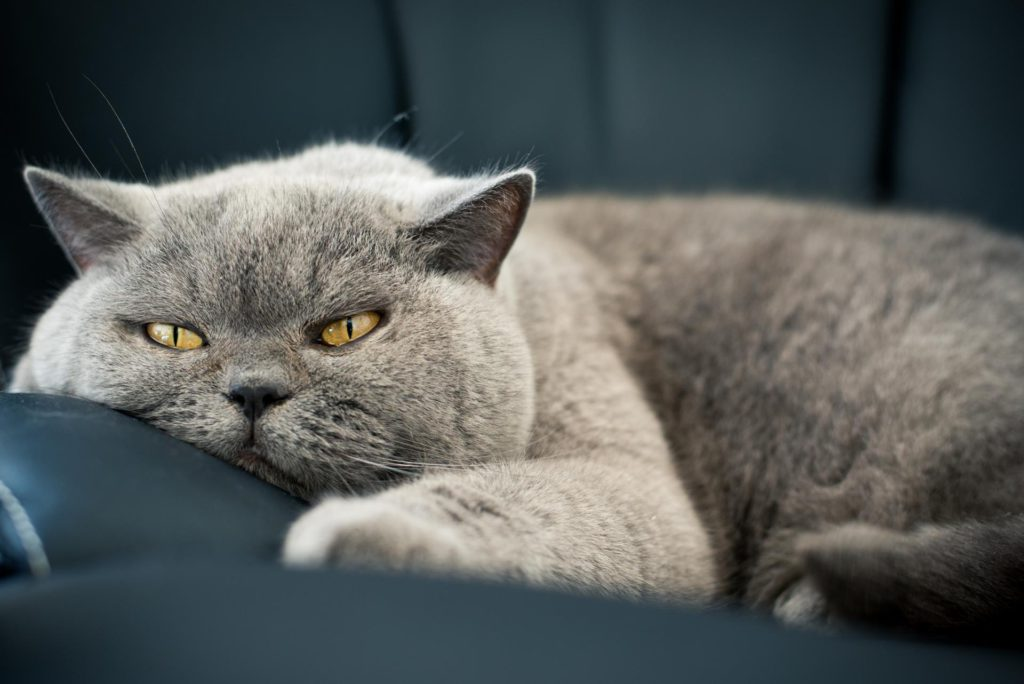 Ревность британских кошек
