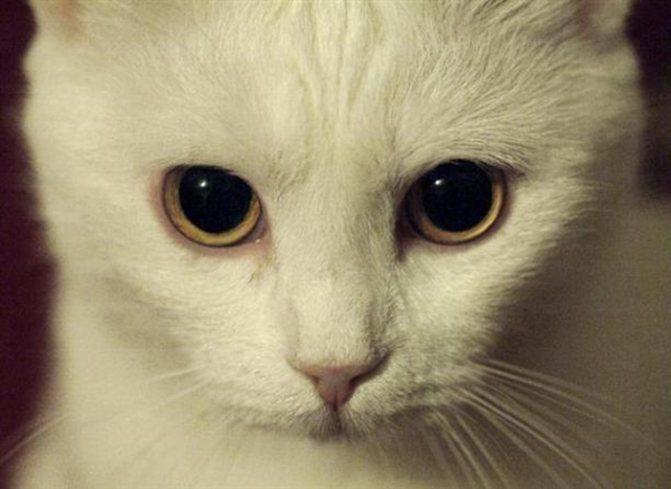 расширены зрачки у кошки заболевания