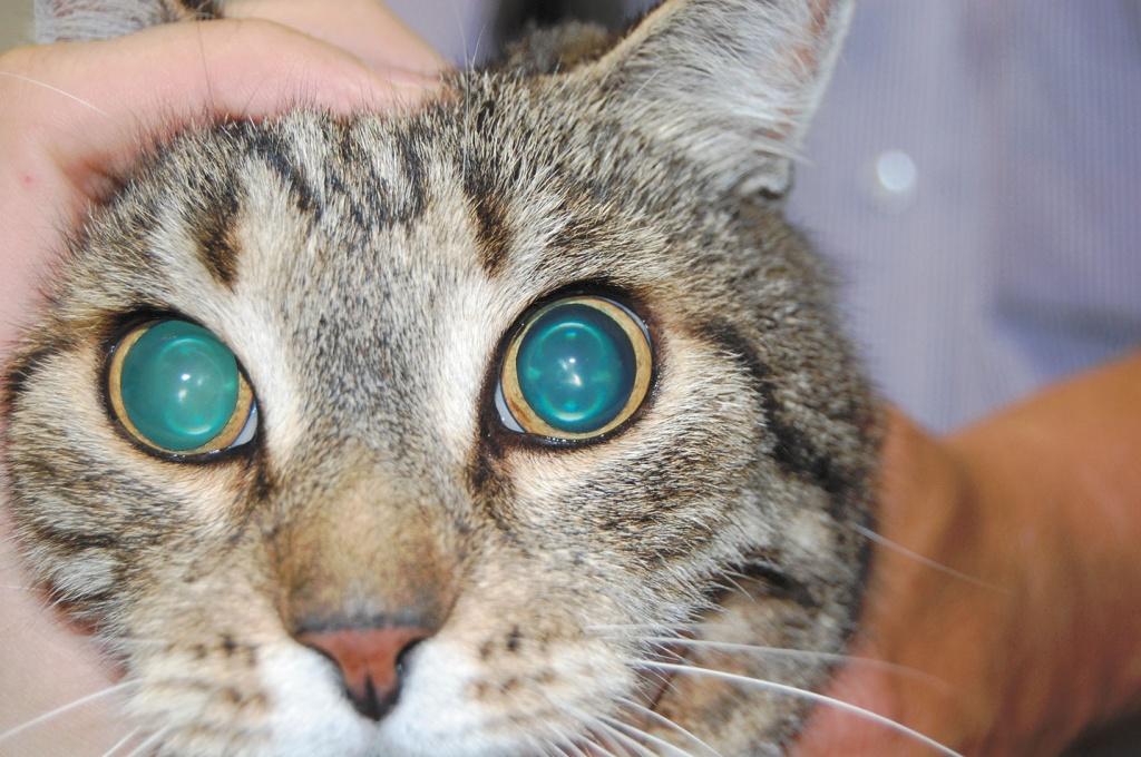 Расширены зрачки у кошки заболевание глаз