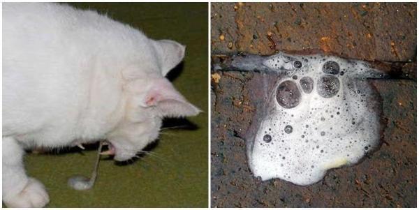 рвота пеной у кошек
