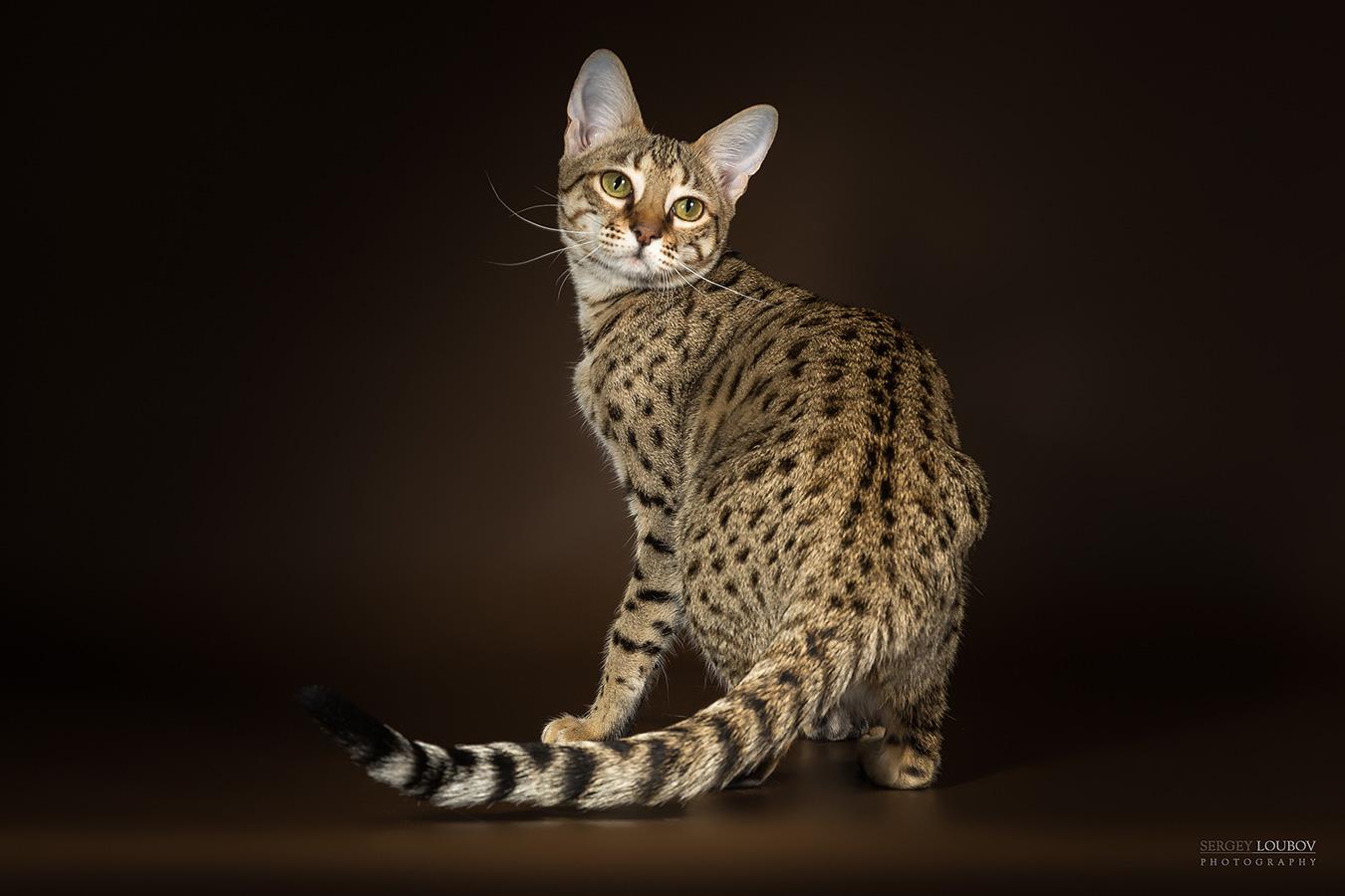 Вес кошек породы Саванна
