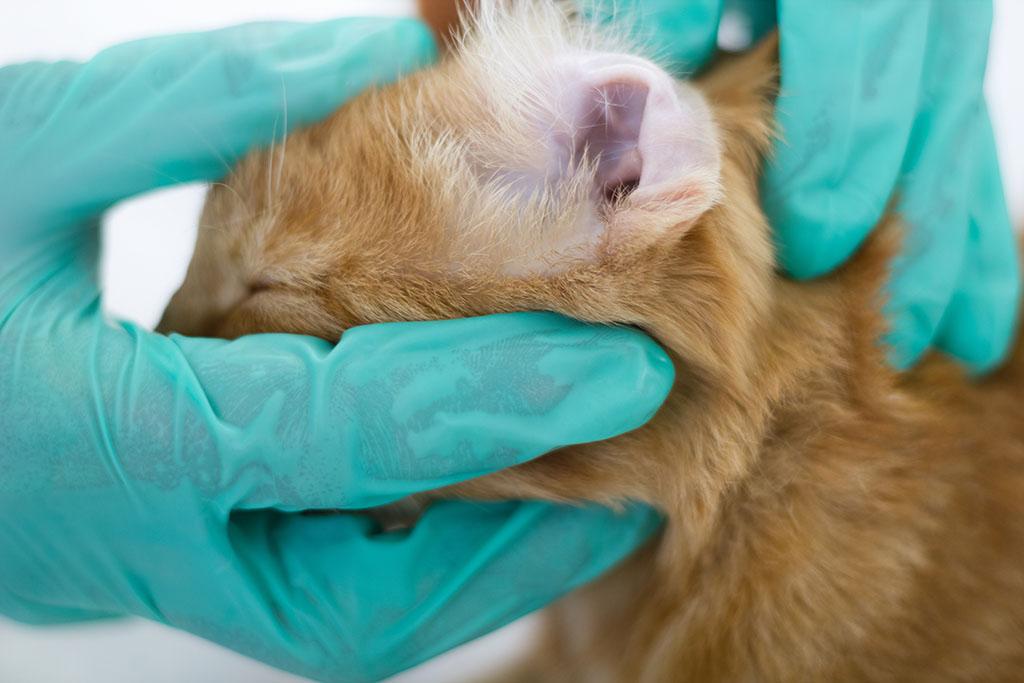 ушной клещ лечение кота