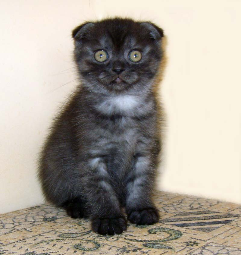 прививки для шотландских котят