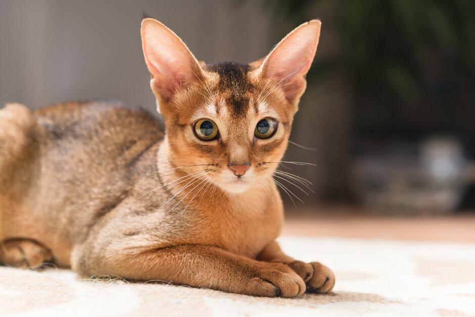 красивая порода - Абиссинская кошка