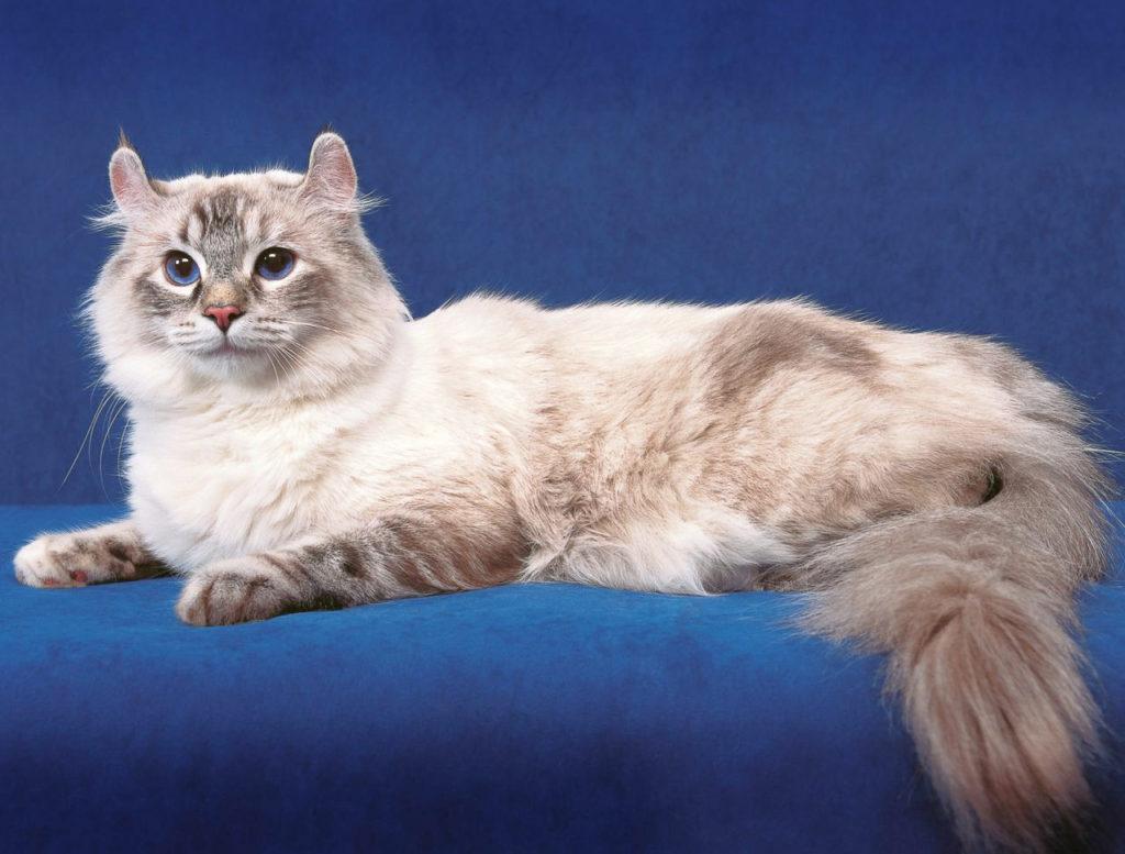 красивая порода кошек: Американский Керл