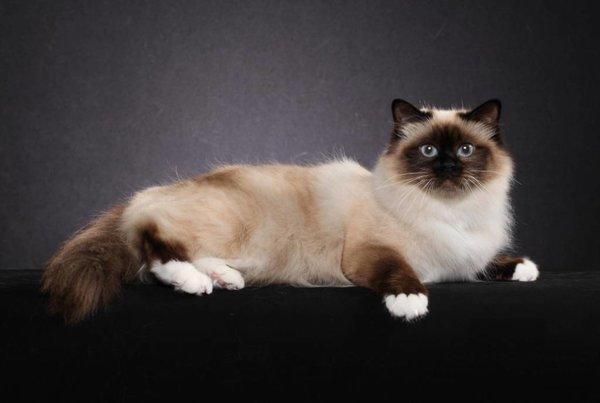 Красивые породы кошек: Бирманская