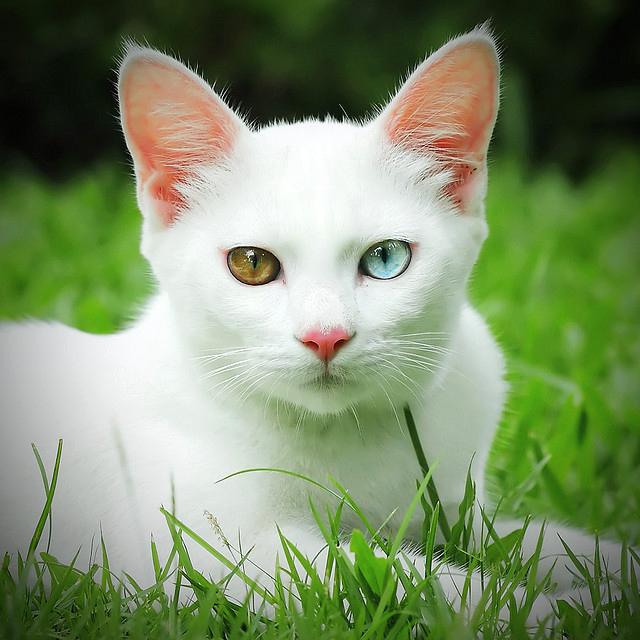 Као Мани - красивая порода кошек