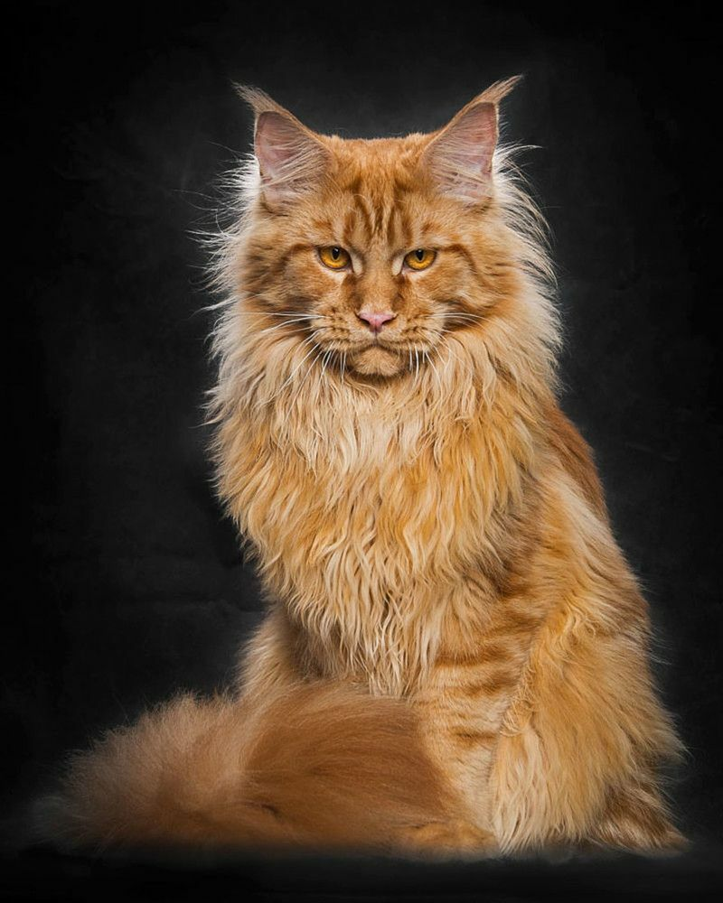красивая порода кошек: мейн кун