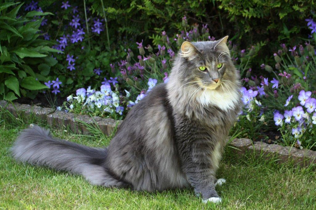 красивая порода кошек - норвежская лесная
