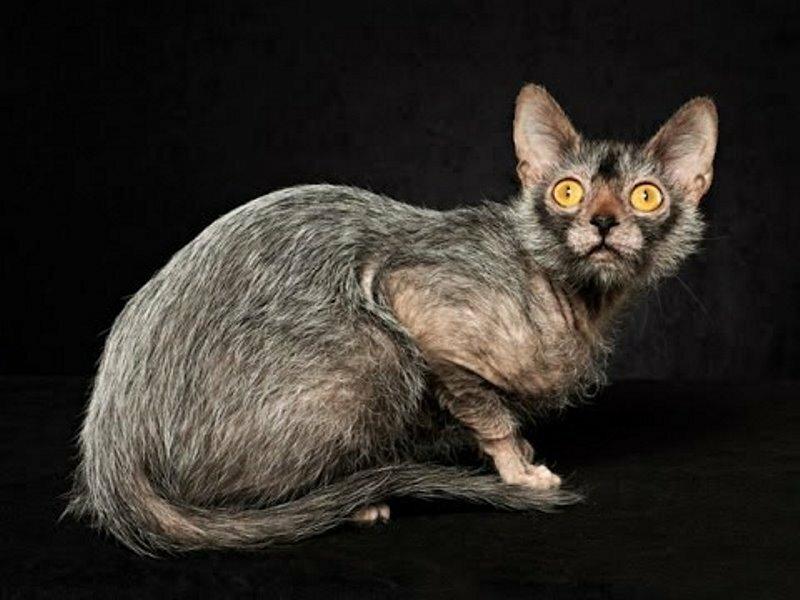 Домашние кошки: порода ликой